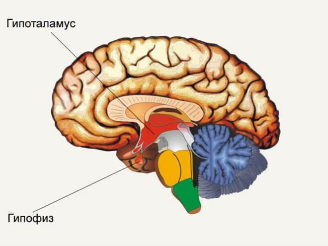 Расположение гипофиза в головном мозге