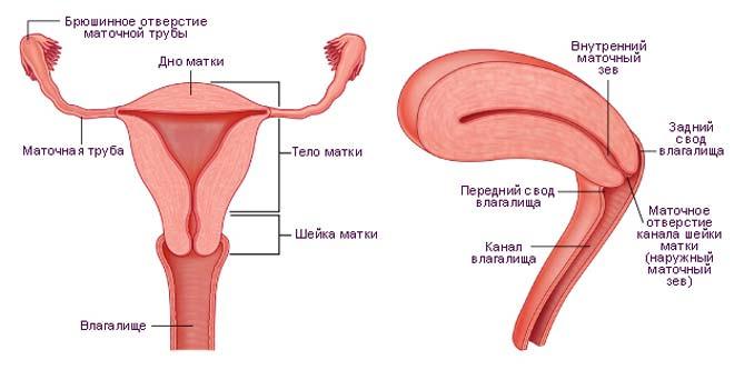 строение матки и влагалища