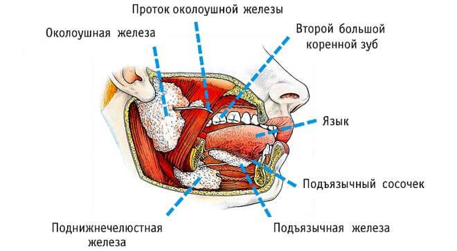 строение слюнных желез