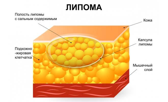 строение жирового уплотнения